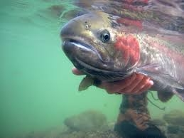 Idaho's Snake River Steelhead Fisheries Plan