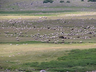 High Uinta Wilderness/Domestic Sheep