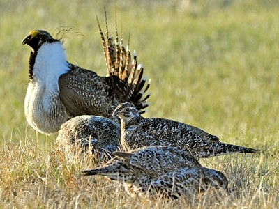 Land Management Plans for Greater Sage-Grouse Conservation